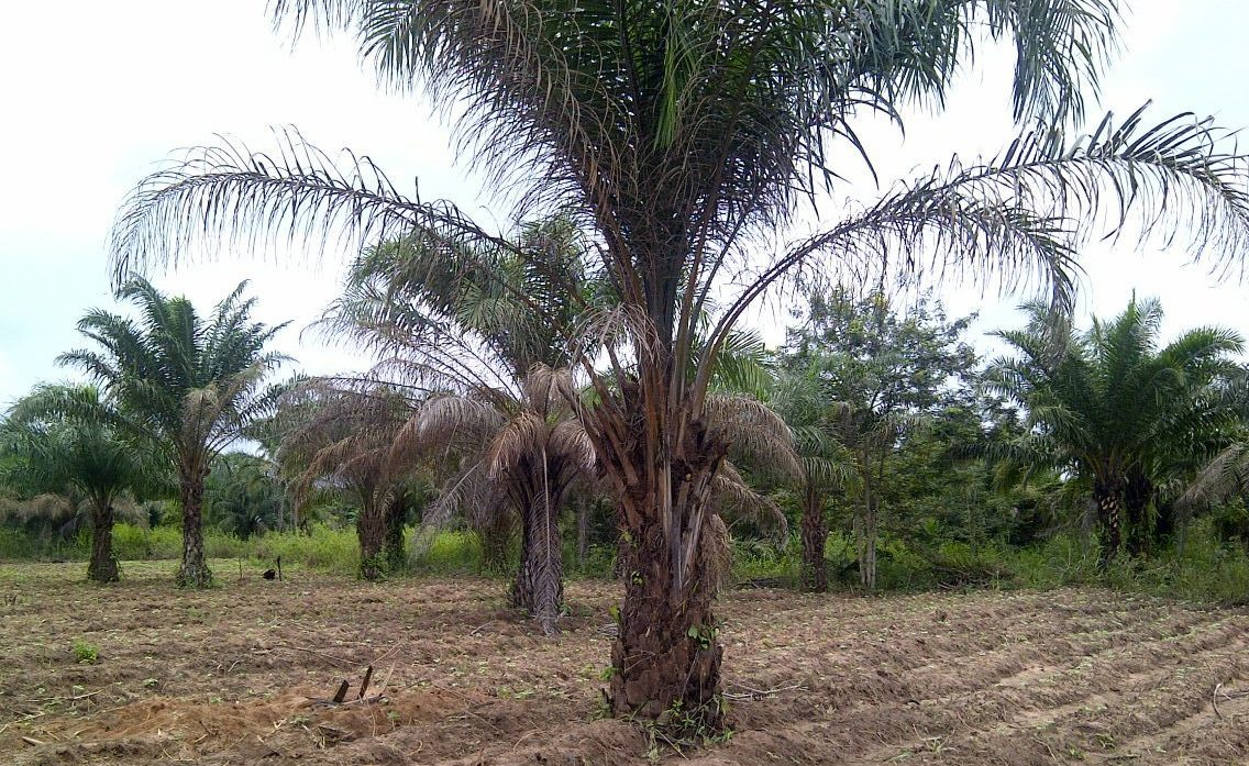 Palm trees provide a wide variety of food in Nigeria; palm oil, palm kernel oil, palm wine. They also provide fire-fuel, and material for brooms, baskets and building.